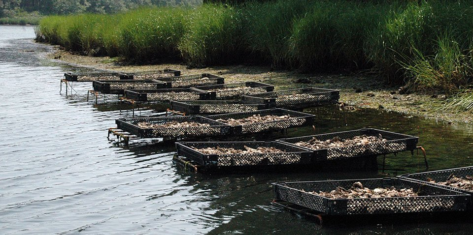 oysters planted in the Marstons Mills River