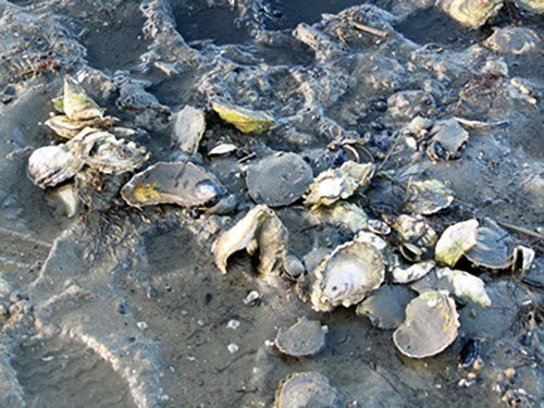 Oysters at low tide