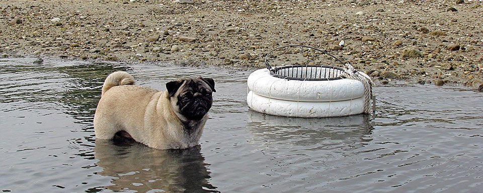 clamming assistant Mason the pug