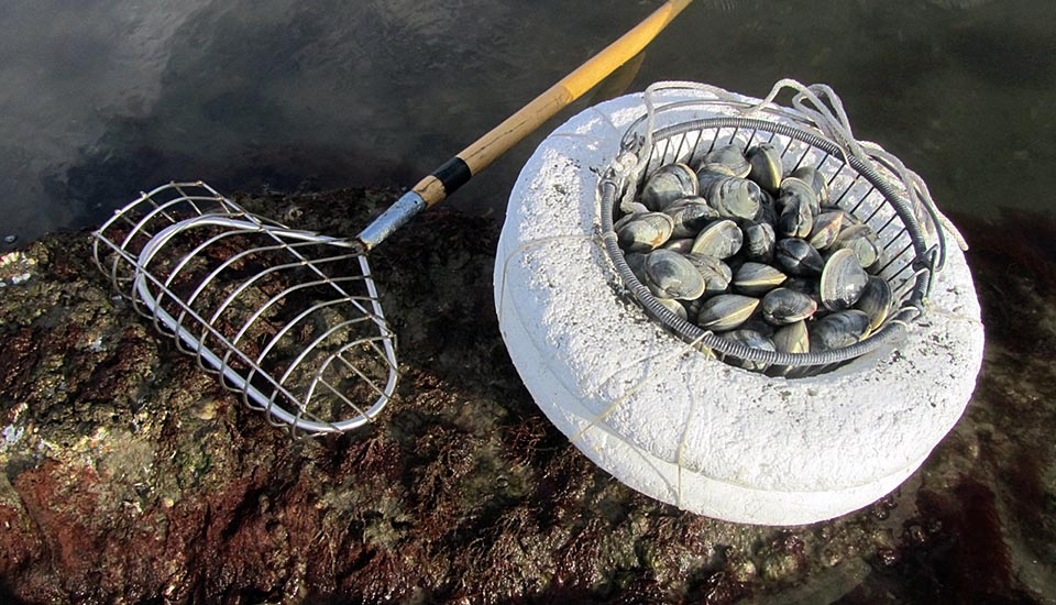 shellfishing rake and basket full of quahogs