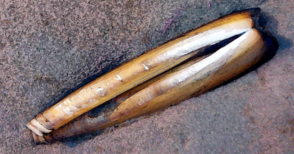 razor-clam-painting