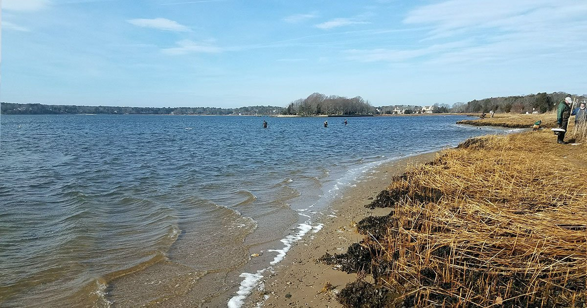 Shellfishing at Bay Street Osterville
